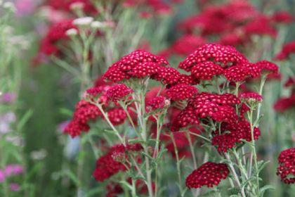 Coada soricelului rosie (Achilea millefolium Red Velvet)