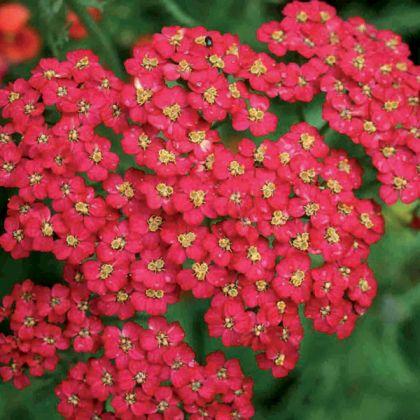 Coada soricelului rosie (Achillea Cherry Queen)