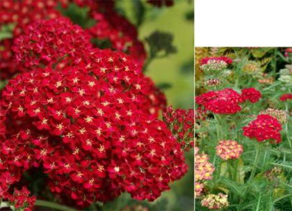 Coada soricelului rosie pitica (Achilea m. Dessert Eve Red)