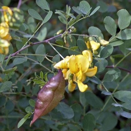 Colutea (Colutea arborescens)
