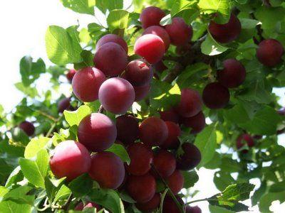 Corcodus (Prunus cerasifera)