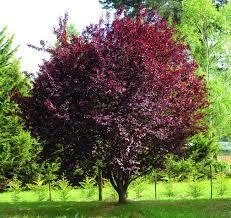 Corcodus rosu (Prunus cerasifera Nigra)