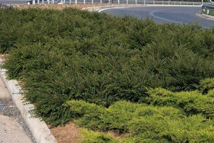 Cotoneaster (Cotoneaster horizontalis)