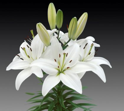Crini Asiatic white 14/16(Lilies Asiatic white)