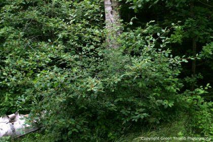 Crusin (Frangula alnus)