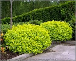 Cununita galbena (Spiraea japonica Goldmound)