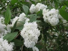 Deutia alba (Deutzia cren. Pride of Rochester)