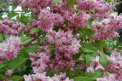 Deutzia roz (Deutzia hybrida Strawberry Fields)