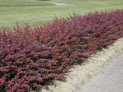 Dracila rosie (Berberis th. Atropurpurea) la ghiveci