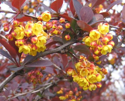 Dracila rosie superba (Berberis th. Superba)