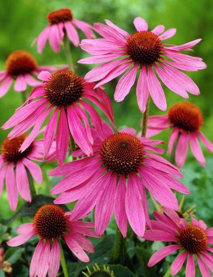 Echinaceea roz  (Echinacea magnus)