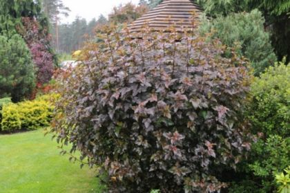 Fisocarpus (Physocarpus opulifolius Red Baron)