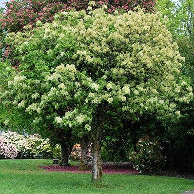 Frasin ornus (Fraxinus ornus)