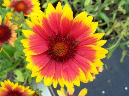 Gailardia, floarea roata de foc (Gaillardia aristata Kobold)
