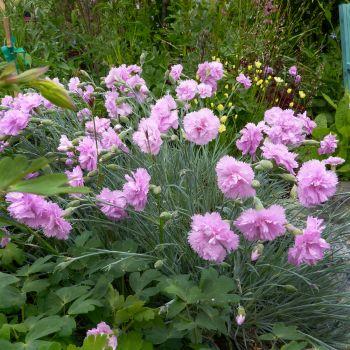 Garofite roz (Dianthus Double Rose)