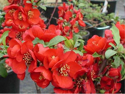 Gutui japonez (Chaenomeles superba Crimson and Gold)