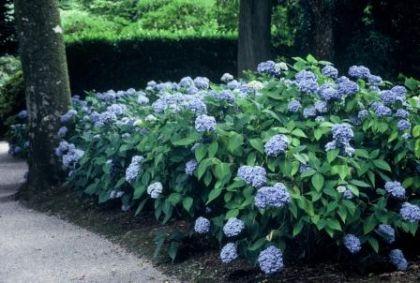 Hortensia (Hydrangea macrophilla Blauer Zwerg)