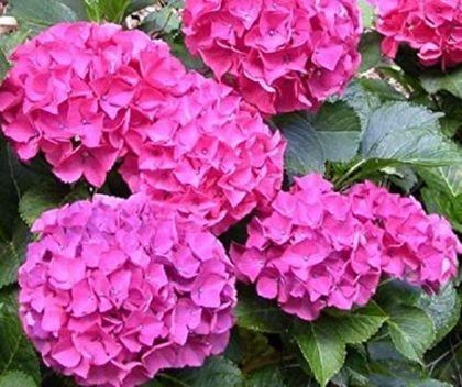 Hortensia roz (Hydrangea macrophylla Alpengluhen)