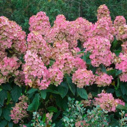 Hortensia roz (Hydrangea paniculata Pink Diamond)