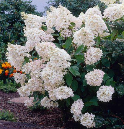 Hortensia alba (Hydrangea pan. Grandiflora)