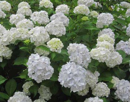 Hortensie alba (Hydragena pan. Grandiflora)