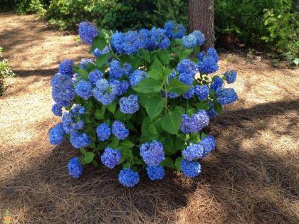 Hortensia albastra (Hydrangea macro. Nikko Blue)