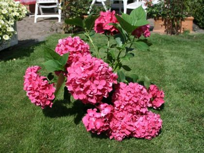 Hydrangea macr Leuchteuer – hortensie roz