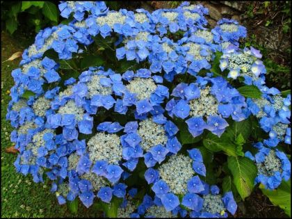 Hydrangea macrophylla 'Blaumeise'  - hortensia albastra