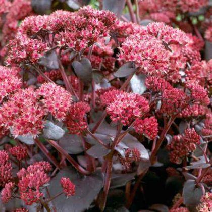 Iarba de soaldina maro (Sedum telephium Seduction Brown-Red)