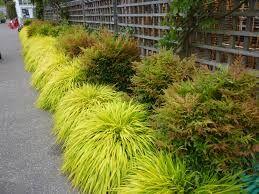 Iarba japoneza galbena (Hakonechloa macra All Gold)