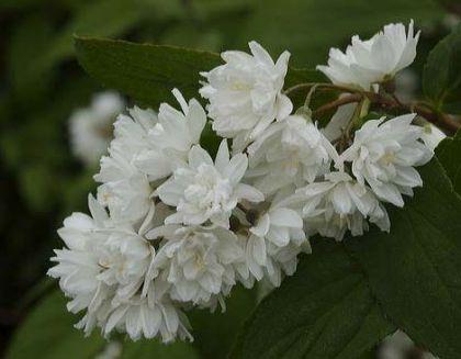 Iasomie batuta (Philadelphus Minnesota Snowflake)