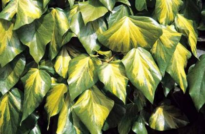 Iedera bicolora (Hedera colchica Sulphur Heart)