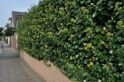 Iedera (Hedera hel. Arborescens)