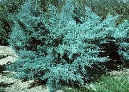 Ienupar albastrui (Juniperus pf. Pfitzeriana Glauca)
