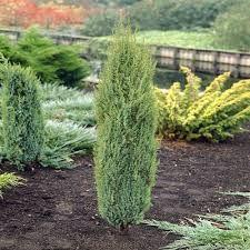 Ienupar Arnold (Juniperus communis Arnold)