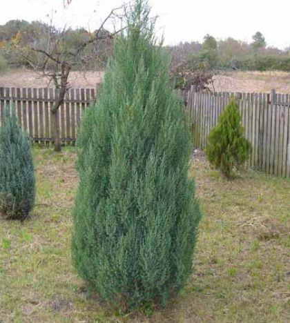 Ienupar chinezesc  (Juniperus chinensis Stricta) 20 cm