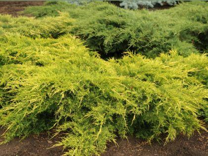 Ienupar galben (Juniperus pf. Old Gold) 30-40 cm