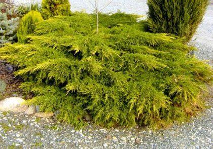 Ienupar galbui (Juniperus ch. Kuriwao Gold)