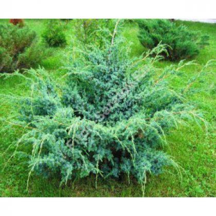 Ienupar (Juniperus Blue Alps)