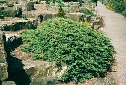 Ienupar pitic (Juniperus Procumbens Nana)