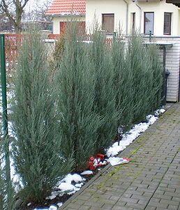 Ienupar sageata (Juniperus Sky-rocket) 50-70 cm