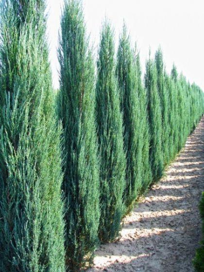 Ienupar sageata (Juniperus Blue Arrow) 80-100 cm
