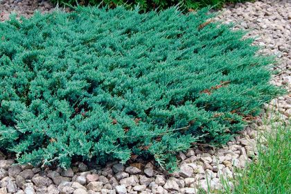 Ienupar tarator albastru (Juniperus horiz. Blue Chip)