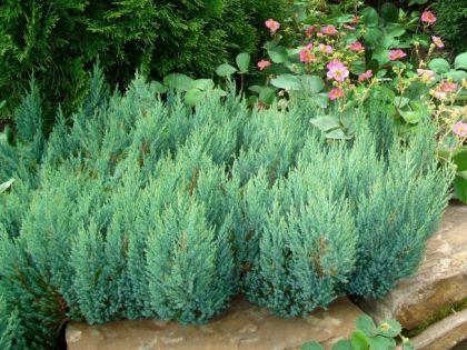 Ienupar tarator albastru (Juniperus sq. Blue Forest)