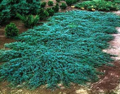 Ienupar tarator albastru (Juniperus Wiltonii)