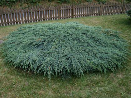 Ienupar tarator argintiu (Juniperus sq. Blue Carpet)