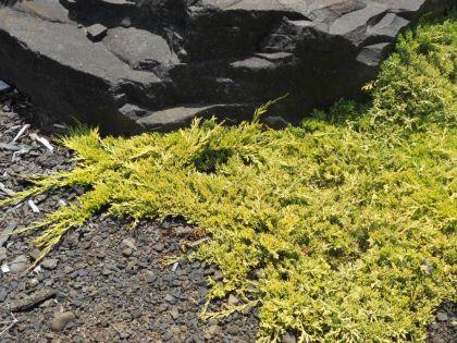 Ienupar tarator galben (Juniperus horizontalis Golden Carpet)