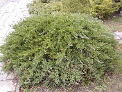 Ienupar tarator verde (Juniperus horiz. Tamariscifolia)