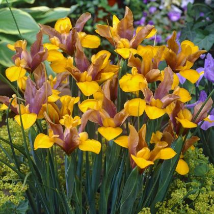 Irisi Bronze perfection hollandica  (Iris Bronze perfection hollandica)