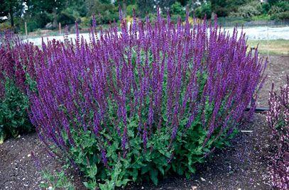 Jales de camp (Salvia nemorosa)